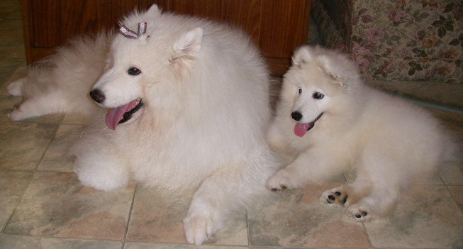 About Happy Samoyeds Dogs
