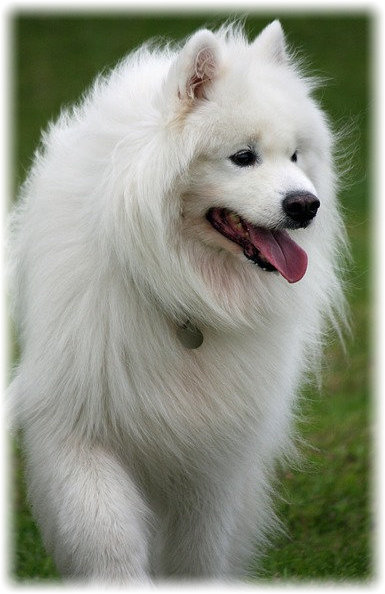 Happy Samoyeds Community